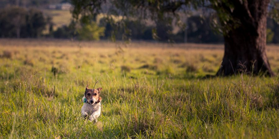 dog_running_in_field